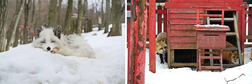 หมู่บ้านสุนัขจิ้งจอก หมาป่า13